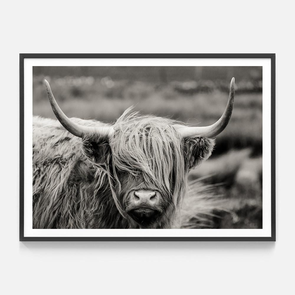 wooly highlander cow